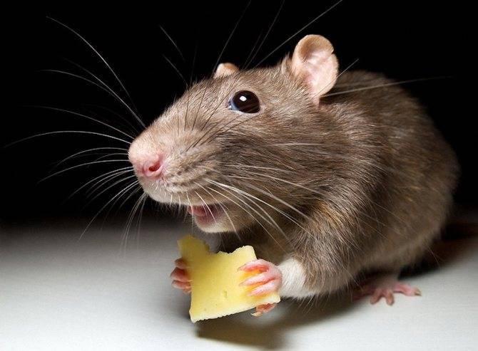 Эффективный ультразвуковой отпугиватель крыс и мышей какой выбрать?