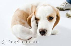 Собака чешется, но блох нет – причины, чем лечить?