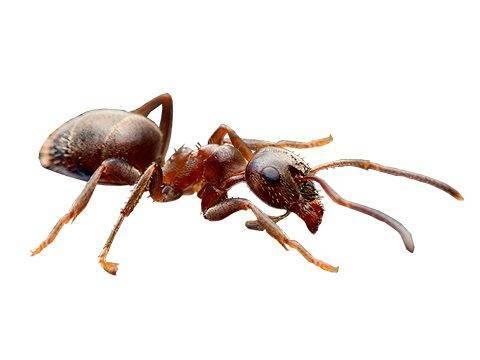 Виды муравьев: строение и описание