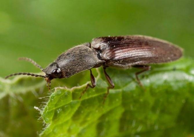Лучшие способы борьбы с жуком-щелкуном (проволочником)