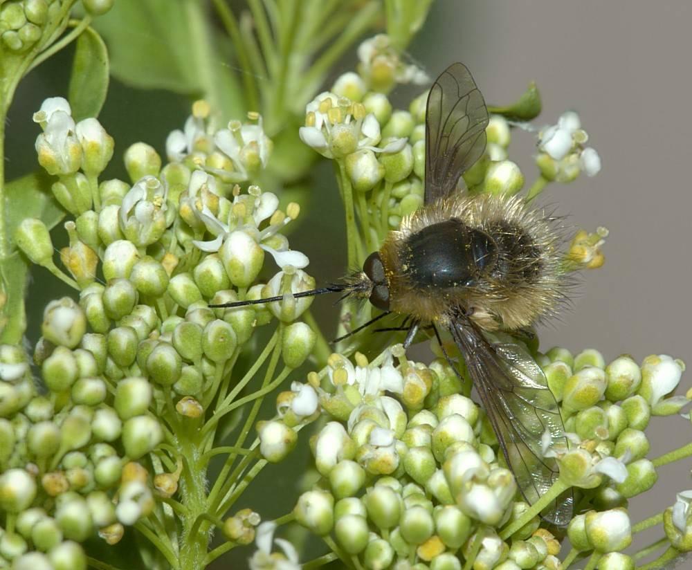 Жужжало большое – двукрылая копия пчелы