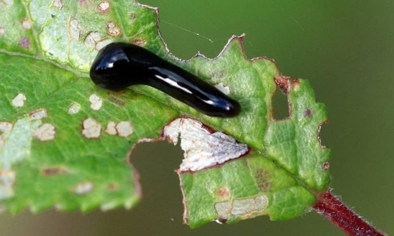 Все возможные насекомые — вредители вишни и борьба с ними