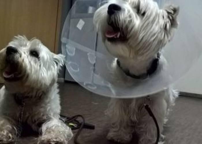 Что значит, если щенок чешется но блох нет? опасный симптом!