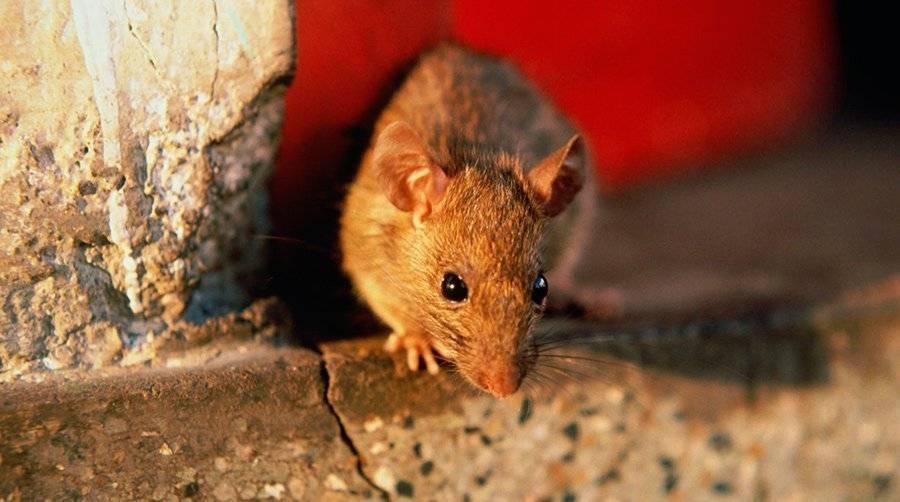 Борьба с мышами на дачном участке: 4 народных и 3 химических средства