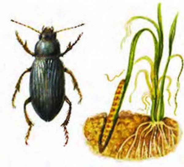 Шершень: описание и образ жизни, виды, среда обитания, опасность укуса