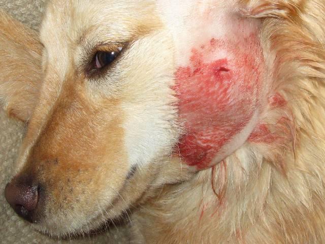 Почему после укуса клеща у собаки появилась шишка