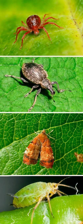 Фуфанон – один из лучших инсектицидов