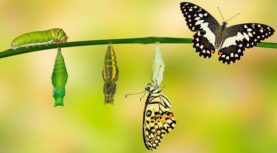 """Исследовательская работа """"чудесное превращение гусеницы в бабочку"""""""