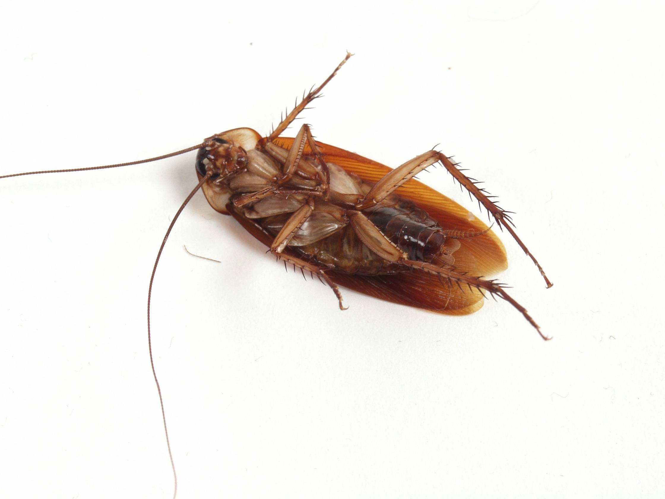 Как вытравить тараканов в квартире в домашних условиях
