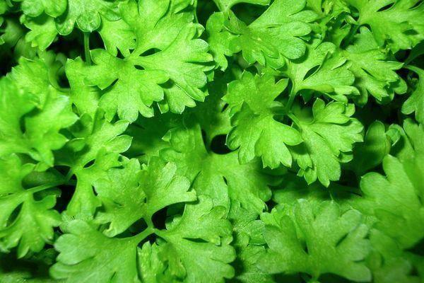 Вредитель №2 прожорливая морковная листоблошка и ее личинки