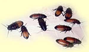 Аргентинские тараканы