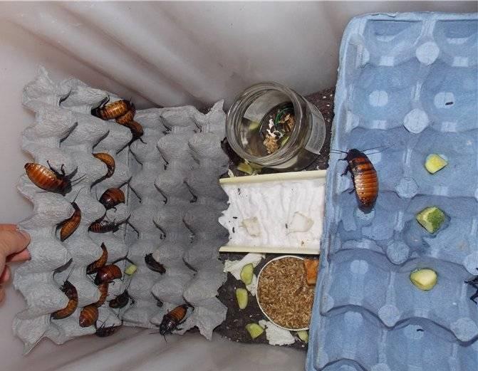 Мадагаскарский таракан: внешний вид и правила разведения в домашних условиях