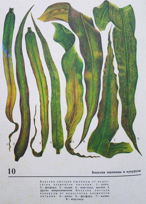 Полосатая хлебная блошка и другие вредители злаковых