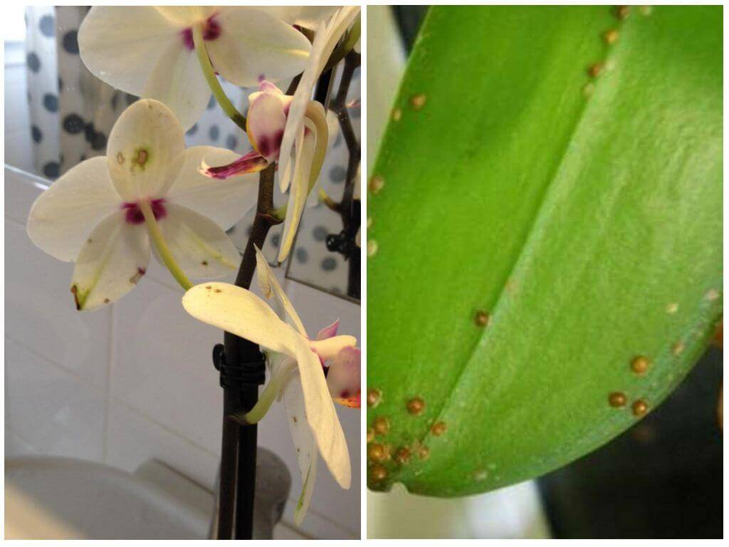 """Вредители орхидей: каких врагов нужно знать в """"лицо"""""""
