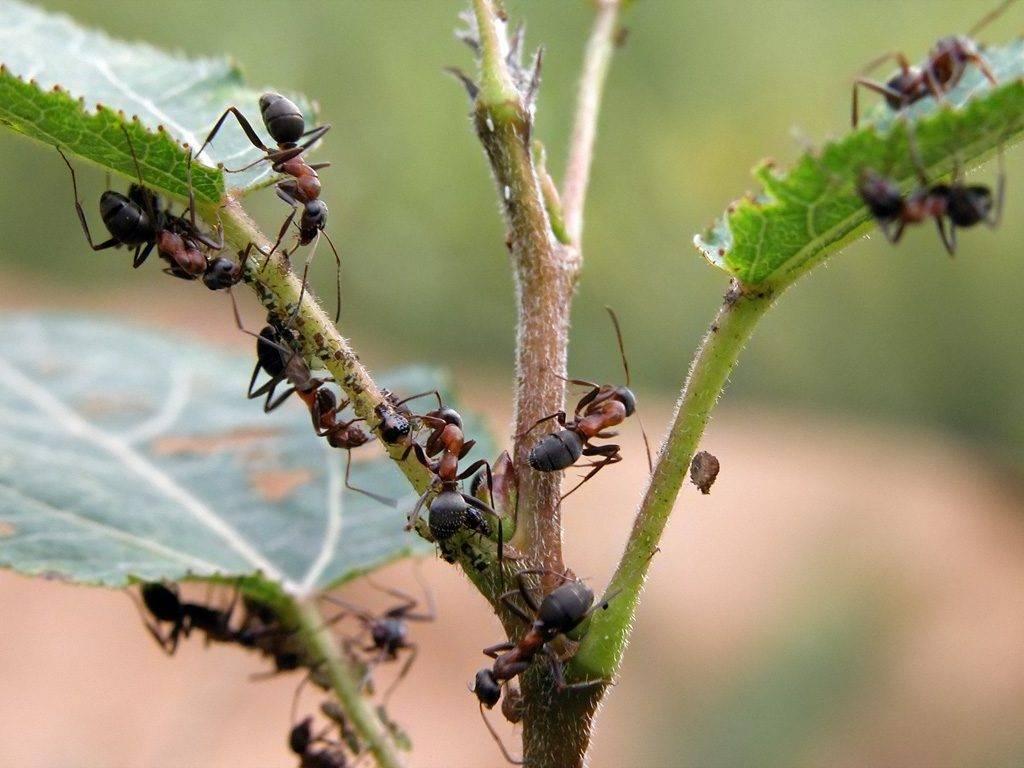 Борьба с летающими муравьями в доме