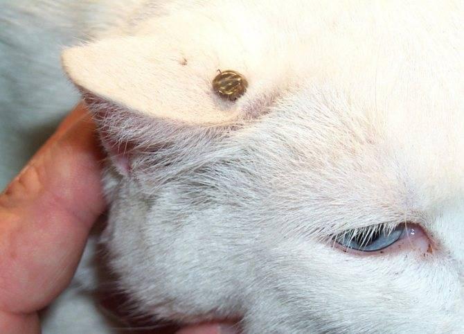 Клещ у кошки: обнаружить и устранить