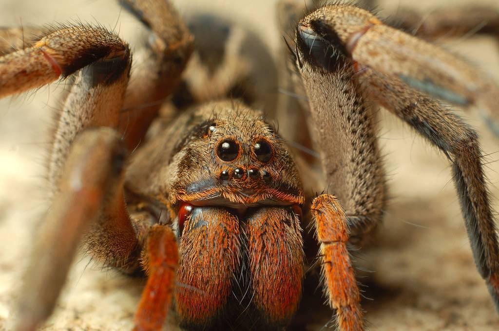 Самые опасные и ядовитые пауки