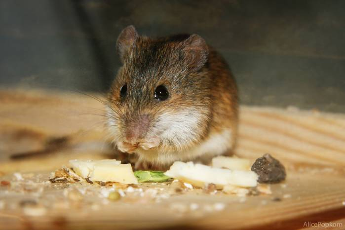 Долго ли живут мыши?