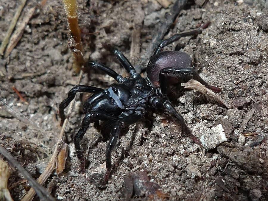 Южнорусский тарантул (фото): правила домашнего содержания