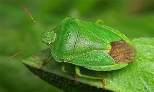 Итальянский клоп – всё о насекомом: описание, фото, методы выведения