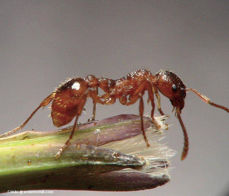Как использовать пшено от муравьев на дачном участке