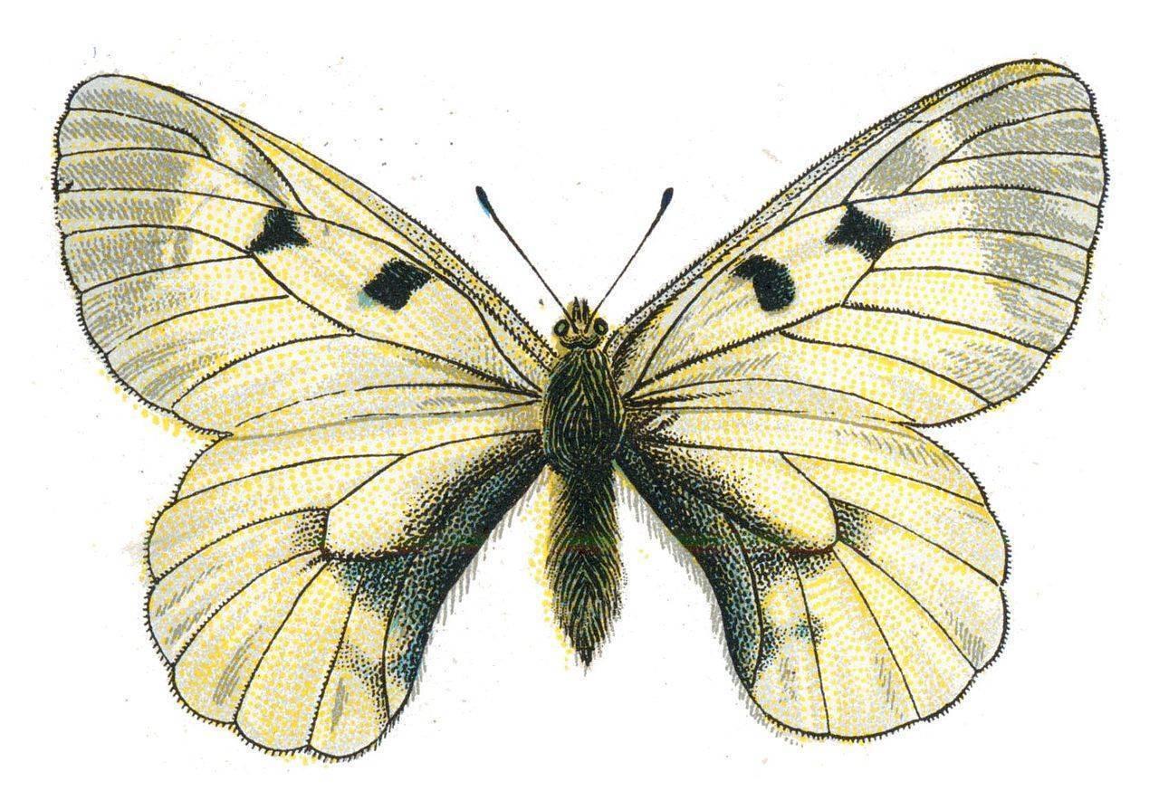 Бабочки: фото и описание