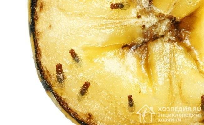 Муха плодовая, или дрозофила: методы борьбы с ней