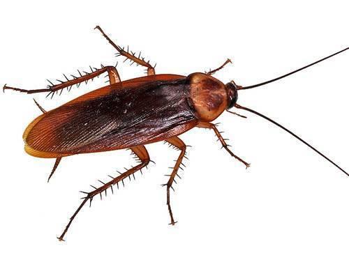 Тараканы в квартире как выглядят. разновидности тараканов, образ жизни, среда обитания и поведение. экзотические виды насекомого и их особенности