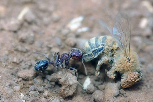 Как быстро и качественно избавиться от муравьев в улье?