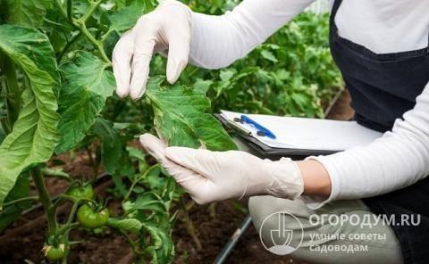 Защищаем урожай помидор и огурцов от нашествия белокрылки