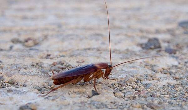 Чем опасен американский таракан?