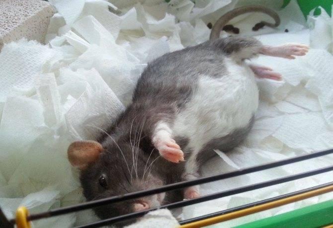 Виды крыс: уникальные породы и условия содержания