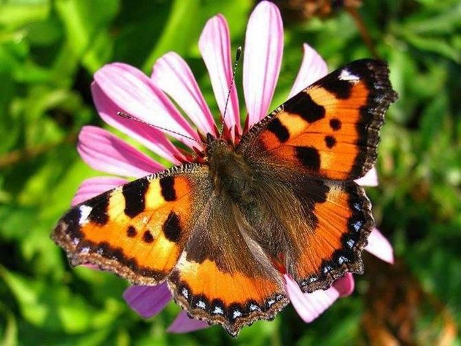 Сколько живут бабочки крапивницы в домашних условиях