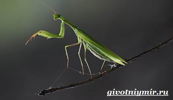 Что за насекомое богомол где встречается. богомол обыкновенный – живая ловушка для насекомых