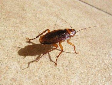 Разновидности домашних тараканов