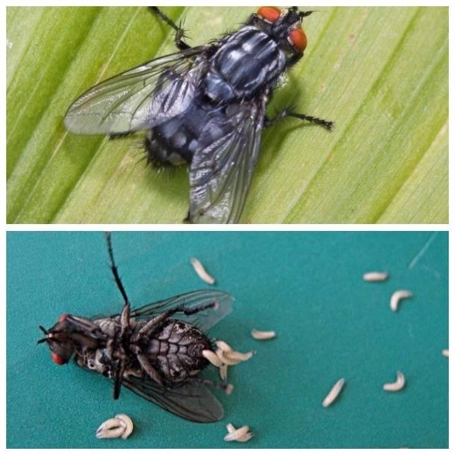 Личинка мухи-журчалки: вред и польза