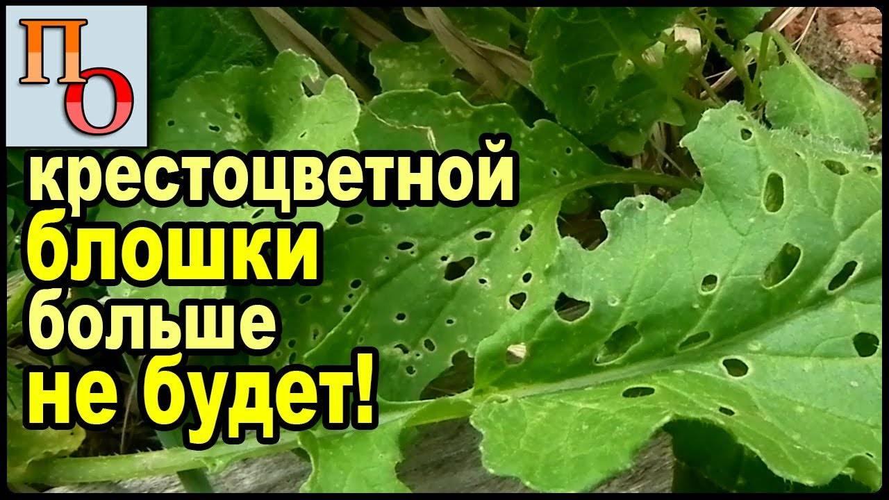 Чем обработать капусту от блошки: 5 правил выращивания здорового урожая