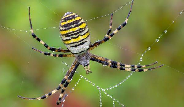 Паук с черно белыми полосками на ногах. паук-оса – ядовитое насекомое с яркой внешностью