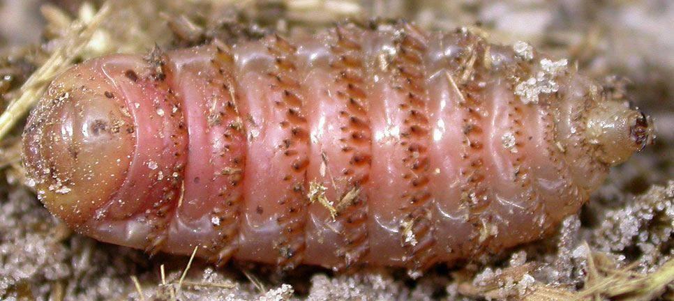 Как личинки овода проникают в тело человека?