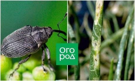Вредители капусты (70 фото) – поиск и устранение вредоносных насекомых