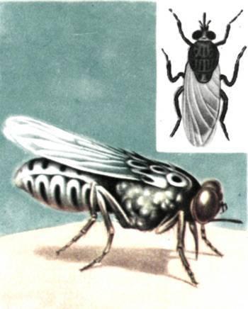 Почему мухи садятся на человека. почему мухи садятся на людей? зачем мухи садятся на людей
