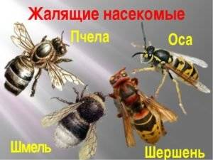 В чем заключается отличие осы от пчелы: основные различия