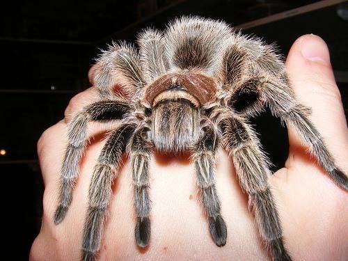 Самый ядовитый паук мире и его «товарищи»!