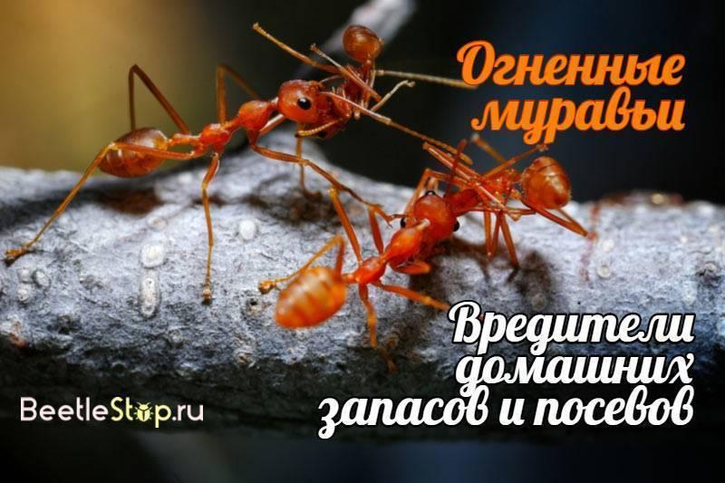 Образ жизни и среда обитания огненных муравьёв. огненные муравьи. кто больней укусит? где источник огненных муравьев fallout 3