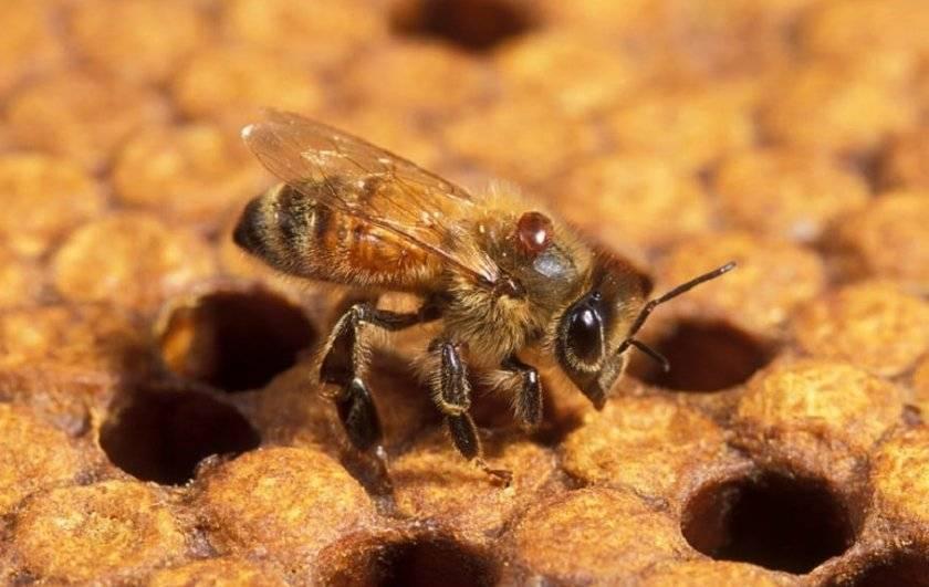 Обработка пчел от клеща варроа