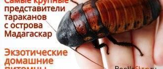 Кусаются ли домашние тараканы или нет?