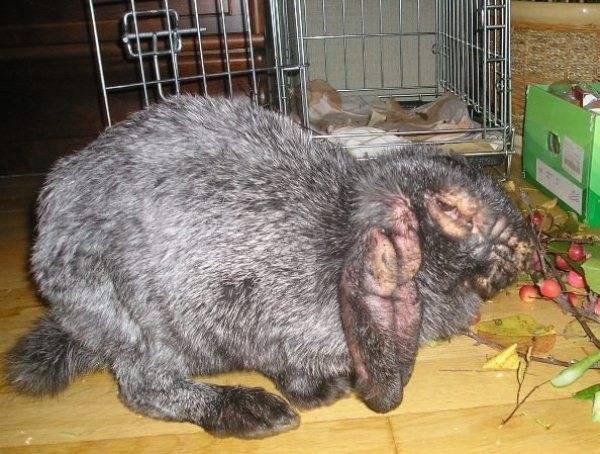 Профилактика, диагностика и лечение ушного клеща у кроликов в домашних условиях