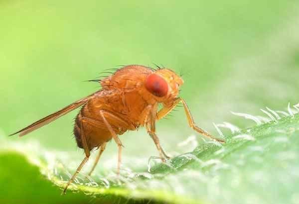 Муха дрозофила – как появляется, как выглядит, чем питается и как от нее избавиться?