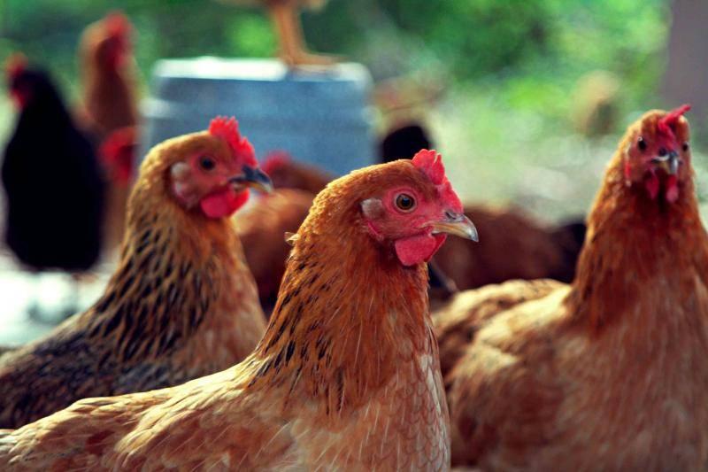 Куриные блохи — огромная опасность не только для птицы, но и для человека!