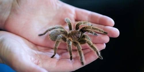 «тарантул к чему снится во сне? если видишь во сне тарантул, что значит?»